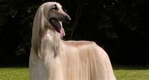 The 10 Most Elegant Dog Breeds – iHeartDogs com