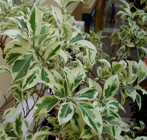 bibit beringin putih tanaman beringin putih bibitbunga