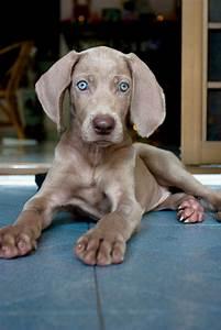 Weimaraner puppy | Weims | Pinterest