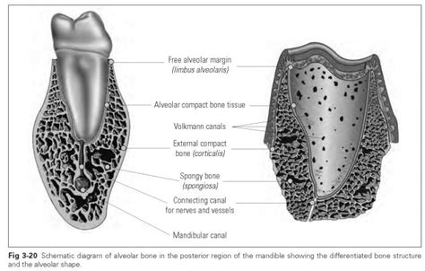 Alveolar bone: structure - Dental Technology: How-To, Tips