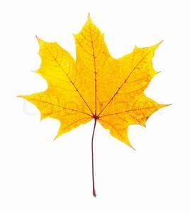 Single maple leaf isolated on white | Stock Photo | Colourbox