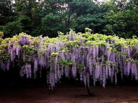 glicine in vaso coltivazione glicine wisteria floribunda ricanti coltivazione