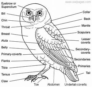 General Owl Physiology