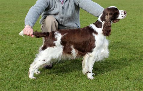 Springer Spaniel Puppies Shedding by 1000 Images About Springer Spaniel On