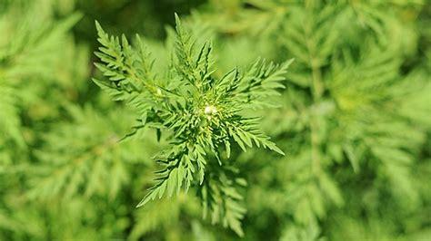 Garten Der Ungeheuer by Ambrosia Pflanze Erkennen Und Bek 228 Mpfen Tipps