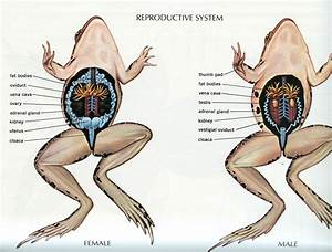 Urinary And Reproductive System Of A Frog - Human Body ...