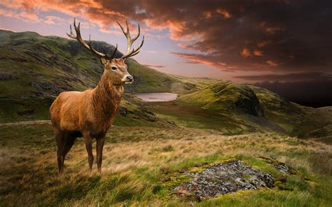 Animal Scenery Wallpaper - picture deer scenery grass clouds animals 3840x2400
