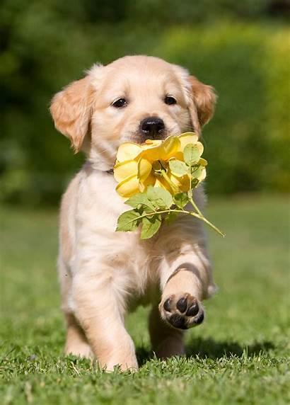Golden Retriever Retrievers Puppy Really Things Carry