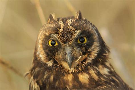 galapagos short eared owl galapagos conservation trust