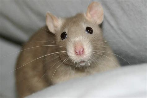 rats as pets the free information society rat