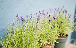 Culture De La Lavande : lavande en pot comment la planter et en prendre soin ~ Melissatoandfro.com Idées de Décoration
