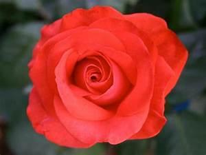 Wilde Triebe Rosen : rosen sind pflegeleichter als ihr ruf tipps f r ~ Lizthompson.info Haus und Dekorationen