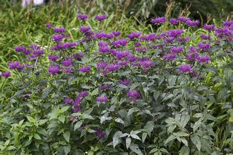 hedge plant with purple flowers purple flowering bushes www imgkid com the image kid has it