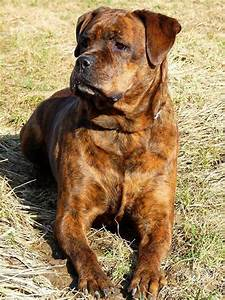 Rottweiler Boxer Mix Puppies | www.imgkid.com - The Image ...