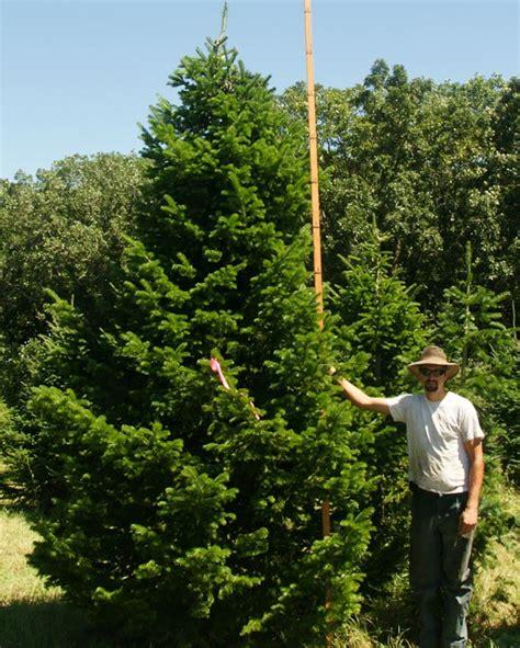 spruce fir pine eastern red cedar evergreen tree