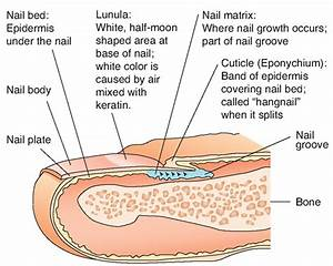 Describe The Structure And Functions Of The Nail And Skin