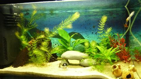 plante d aquarium d eau douce mon aquarium d eau douce de 60 l page 2