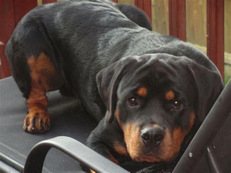 reasons rottweilers   worst indoor dog breeds