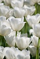 Tulip Bulbs | Item # 1712 Clearwater | For Sale