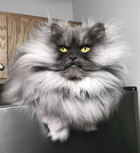 meet juno  beautiful angry cat   permanently