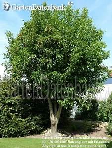 Kirschbaum Richtig Schneiden : walnussbaum schneiden wann baumschnitt walnussbaum was ~ Lizthompson.info Haus und Dekorationen