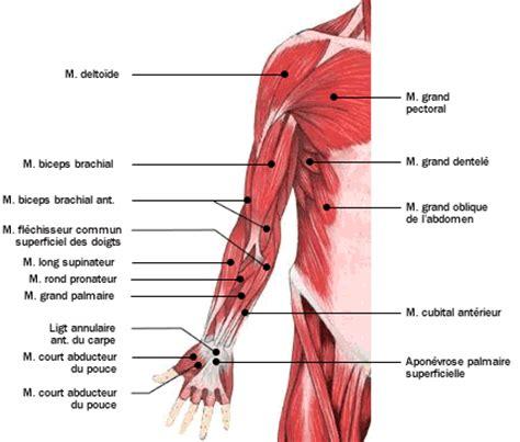 douleur 192 l avant bras durant l entrainement la clinique les blessures dues 224 la musculation