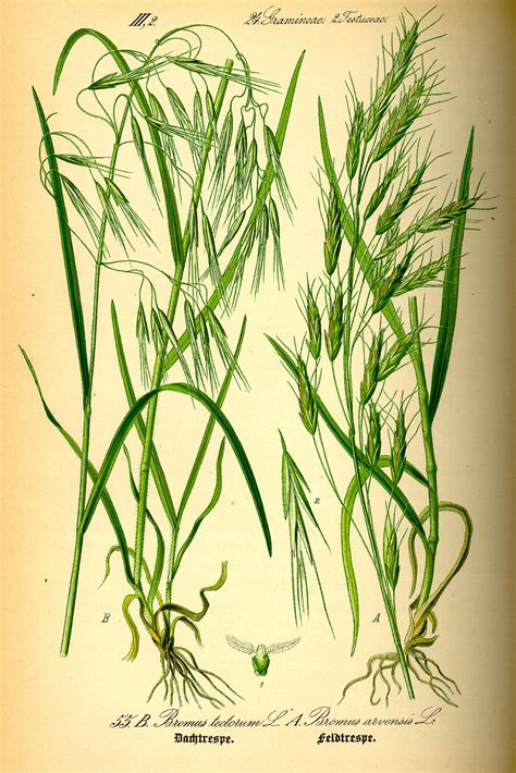 https://en.wikipedia.org/wiki/Bromus_tectorum