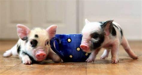 teacup schweinchen minischweinchen micropigs tiere schwein
