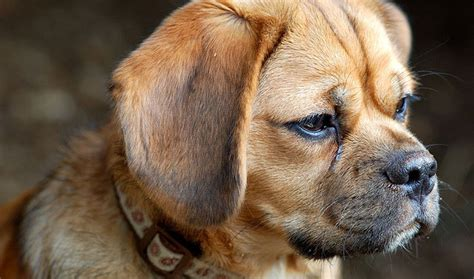do all puggles shed puggle breed information