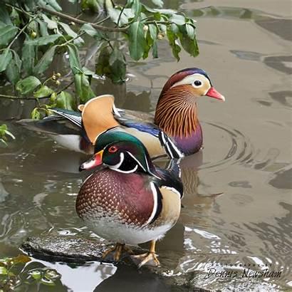 Duck Mandarin Central Park Wood Rare York