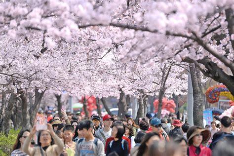 berburu spot sakura  korea selatan cek  tempat