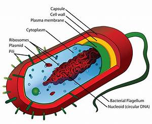 Prokaryotic Cell Structure  A Visual Guide