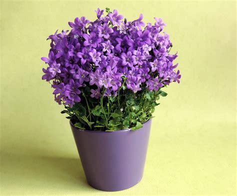 Gambar : menanam warna lembayung muda pot bunga