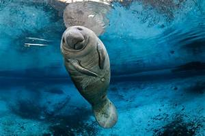 Manatees Are No Longer Endangered Species, Feds Say | Time