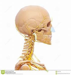 Human Head Skeleton And Nervous System Stock Illustration