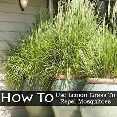 Balkonpflanzen Gegen Mücken by Die Besten 25 Zitronengras Pflanze Ideen Auf