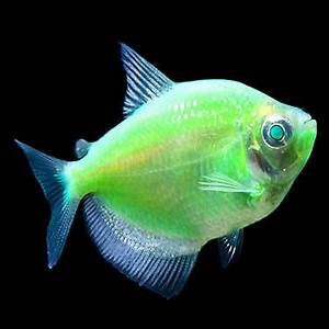 GloFish Electric Green Tetras