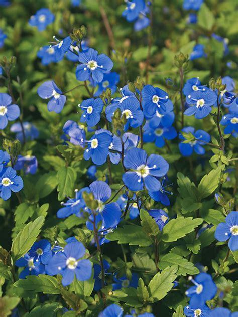 veronica georgia blue bluestone perennials