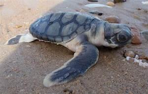 Life of Flatback Sea Turtle - Life of Sea