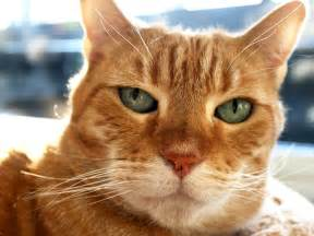orange cats slideshow kitty the orange tabby cat starts