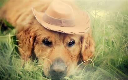Retriever Golden Labrador Dog Grass Animals Desktop