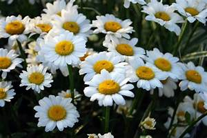 Daisy Flower: Types of Daisies HGTV