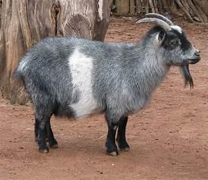 Goat Breeds | Goat Land