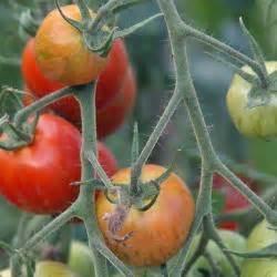 Tomaten Selber Anbauen : tomatenhaus selber bauen mein sch ner garten ~ Orissabook.com Haus und Dekorationen