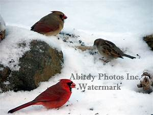 Cardinal Female and Pair Photos By Carol Ely