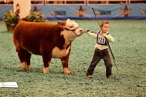 17 Best images about Hereford show cows on Pinterest ...