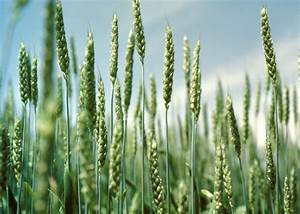Winter wheat brings diversity and profits | Mississippi ...