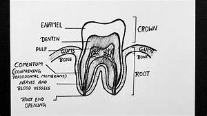 Diagram Of Tooth Anatomy