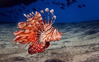 Fins Wallpaperup Fishes Lionfish Underwater Sand Ocean