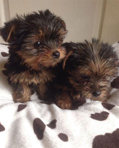 Yorkshire Terrier Sale Hong Kong Yorkshire Terrier Pup Buy Puppy Yorkshire Terrier Breeders